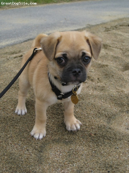 Chug, 3 months, Fawn, Wonderful dog.  Playful and affectionate. Great with kids.