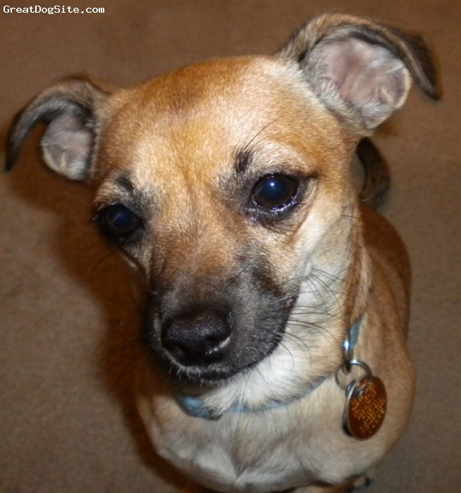Chug, 2 yrs, tan, Tan with some white underneath and  dark eyebrows and muzzle. Ears tip on end