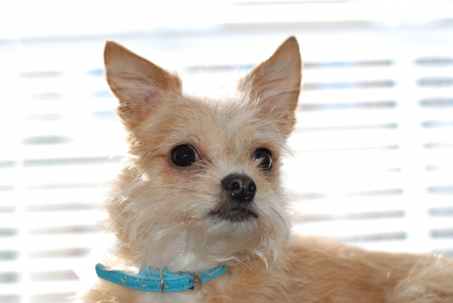 Chussel, 6 years, golden, I am a 6 year old chussel.  I weigh 7 pounds and stand 6 inches high and am 9 inches long.  I truly am a big dog in a little dogs body.  I am a good watch dog although I can be very yappy.  I love to play with kitty toys and love to go for walks, although potty outside in the snow is a problem for me.  Thank god for wee wee pads.