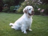 Clumber Spaniel, 2year, white orange