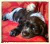 Cluminger Spaniel, 3 months, Liver and White Roan