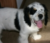 Cluminger Spaniel, 4 months, Black and White Tri-color