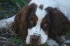 Cluminger Spaniel, 3 years, Liver and white tri-color