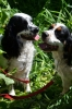 Cluminger Spaniel, 2 years, Black and white
