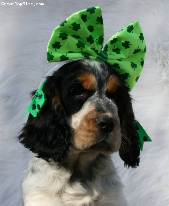 Cluminger Spaniel, 4 months, Black and White Tri-color, Happy St.Patricks Day from Tessa the Cluminger Spaniel.