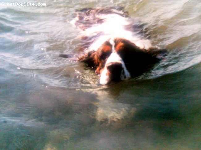 Cluminger Spaniel, 7 years, Liver and white tri-color, Cooling off on a hot sunny day :)
