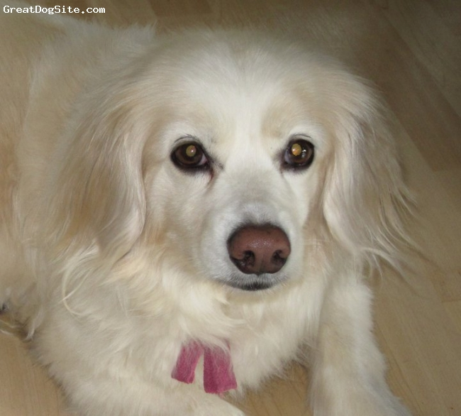 Cock-A-Mo, 16, White, Great Dog - She has a lot of friends in Walled Lake, MI