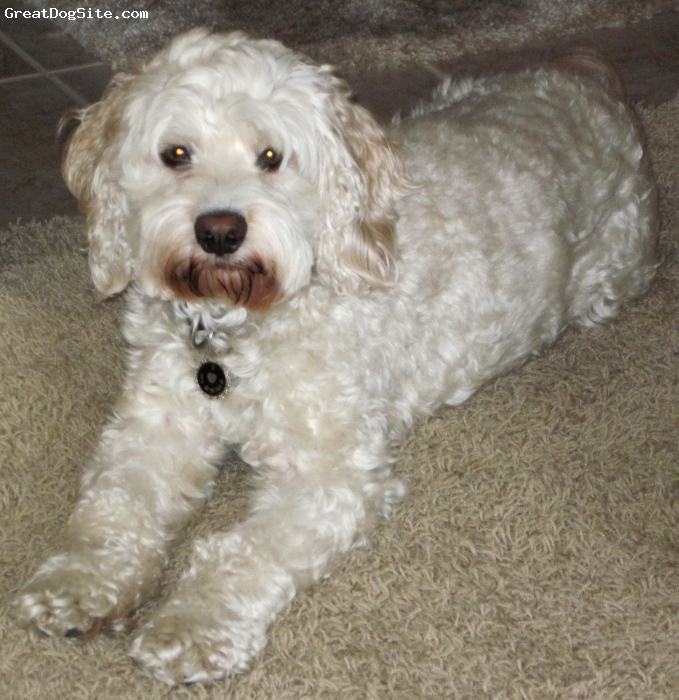 """CockaBichon, 3 years, Buff, Male, 25 lbs, 15"""" tall at shoulders, mid-winter hair length - wavy to loose curls"""