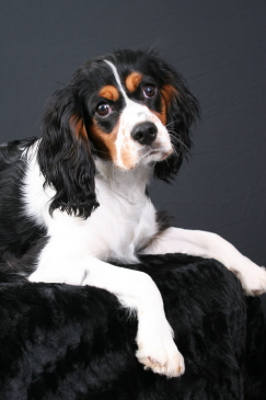 spaniel cocker Adult english