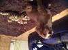 Cockalier, 4 months, light brown