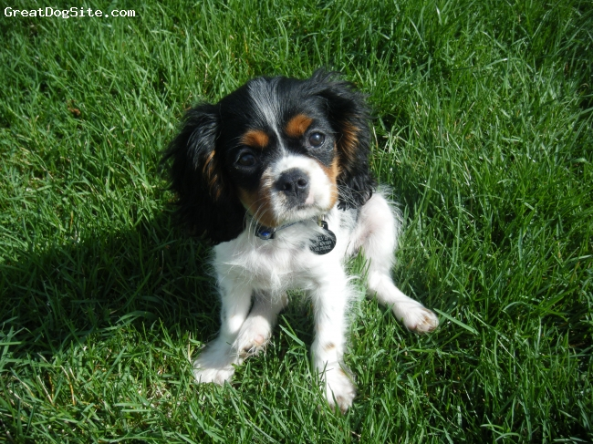 Cockalier, 14 weeks, tri-colored, Takes after the father, Cavalier King Charles Spaniel