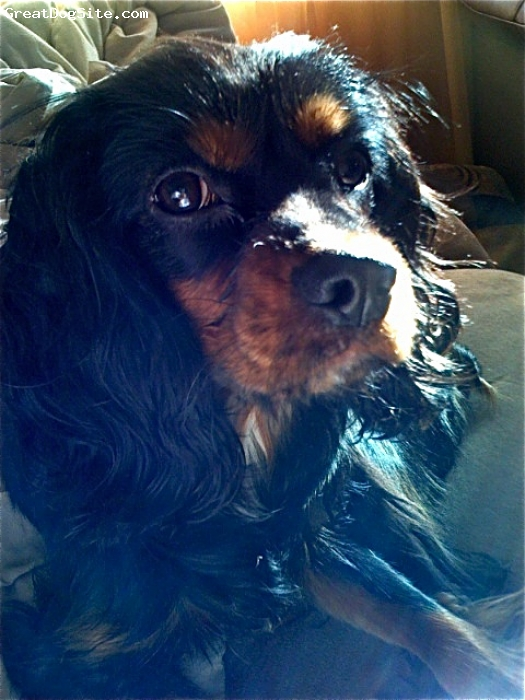 Cockalier, 3, Black and Tan, Sweet, loving a true ball of mush, looks more like a Cavalier but i would describe him as having more of a Cocker temperament, lots of energy!!!!!