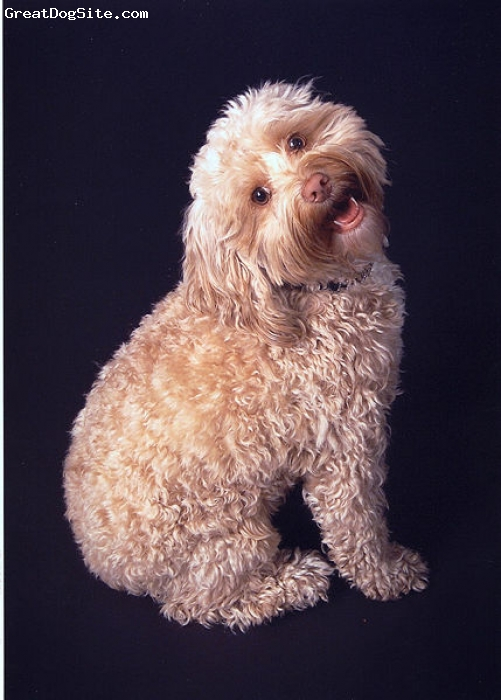 Cockapoo, unsure, cream, confused?