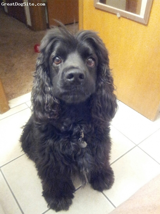 Cockapoo, 4, Black, Perfect