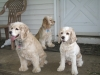 Cocker Spaniel, 5, 5, and 1, Buff, buff and white, and buff