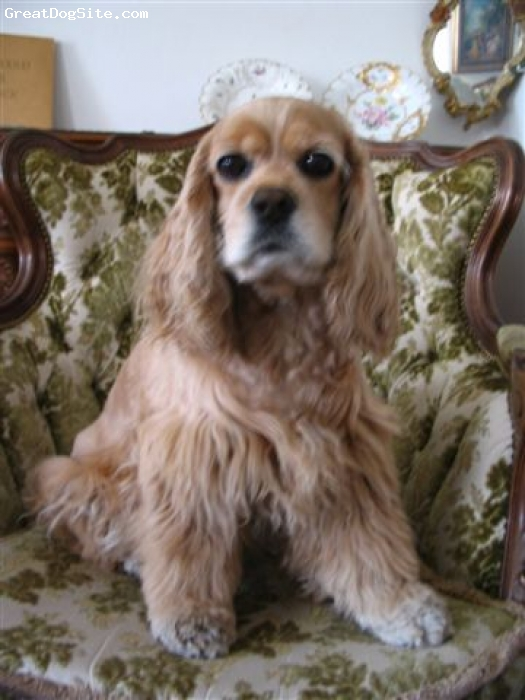 Cocker Spaniel, 7, Buff, Absolutely loveable........