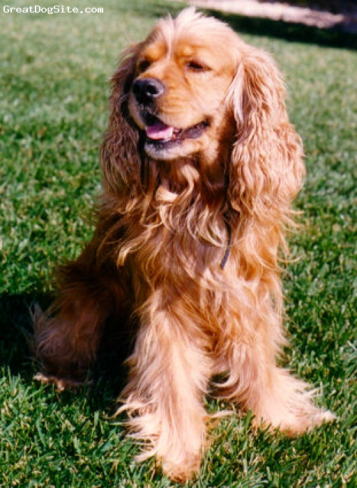 Cocker Spaniel, 1 and a half, red, great