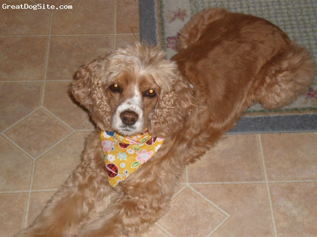 Cocker Spaniel, 4 yrs, Buff, Kobie is 23 lbs of pure love. Very intelligent, responsive to every command and loves to play with his housemate brother, Bruiser, a 1 yr old Shih Tzu.  Kobie was a SPCA rescue dog.  He is even tempered and great  with children and adults allike