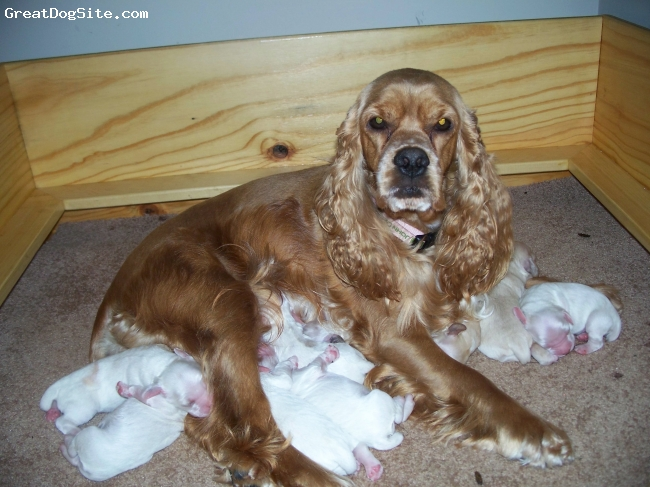 Cocker Spaniel, almost 2 years, red buff, Lucy and her 9 puppies. The pups are 10 weeks old- all adopted out and doing great!! So is Lucy.