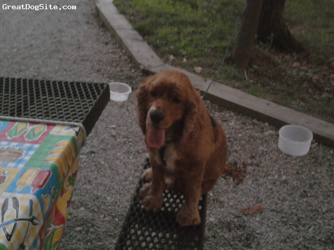 Cocker Spaniel, 6, Red, He is a 6yr. old male who loves attention and loves to run and play!!!