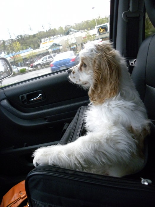 Cocker Spaniel, 9 Months, Parti, Riding and doing errands!