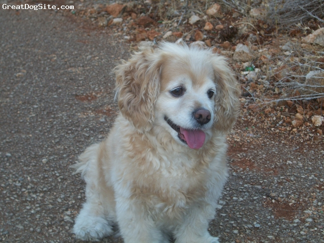 Cocker Spaniel, 6 years, blonde, intelligent,friendly,adorable,so passionate,lovely