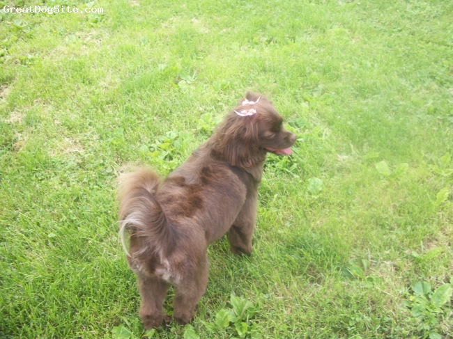 Cockeranian, 18 months, Chocolate brown/Frosted pom tail, One more picture of Abby!!