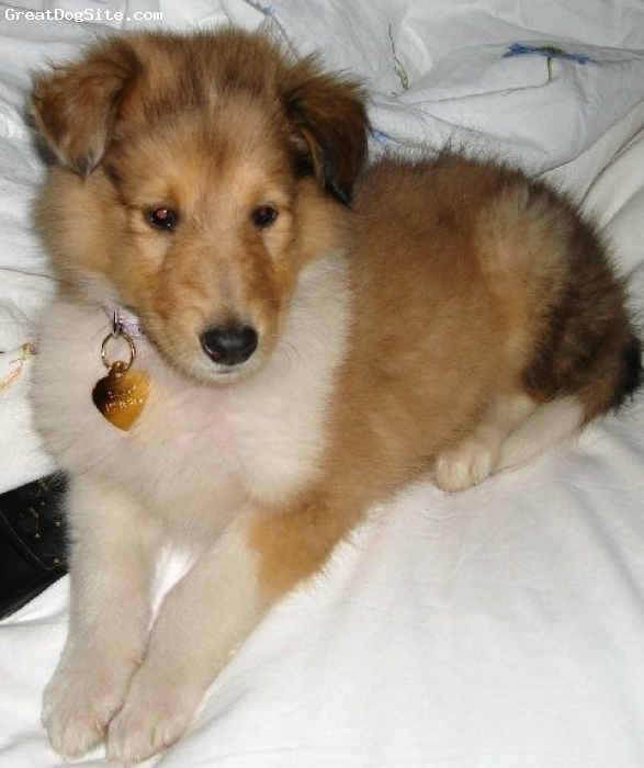 Collie, 2, sable, Sandy is 7 weeks old here