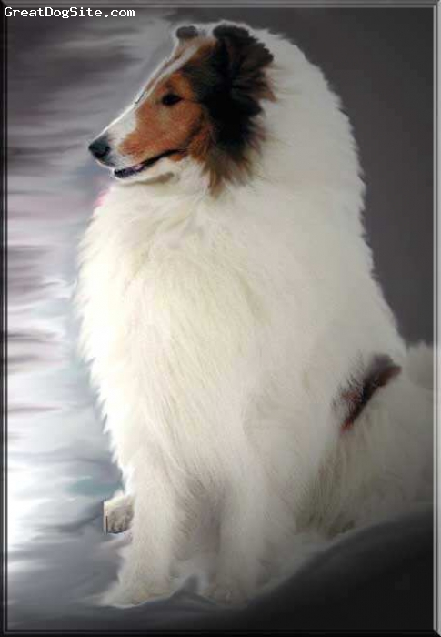 Collie, Seven, White, Our foundation boy