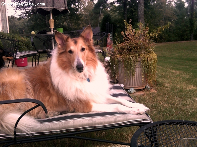 Collie, 7 yrs, sable, Grace on her own lounge chair