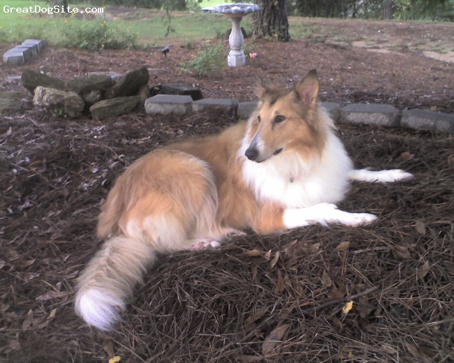 Collie, 7 yrs, sable, Grace in Savannah