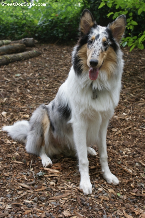 Collie, 8 months, Blue Merle, My ever growing Lark at the park.  He still has a bit of growing to do...