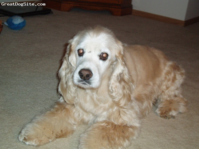 Colonial Cocker Spaniel, 15 years 10 months, buff, Gnarly's Mom was English Cocker and Father was American Cocker, I think Gnarly got the best looks of the two of them.  He is 17 inches tall and 31 pounds.  Nose is a little shorter than the English and longer than the American.