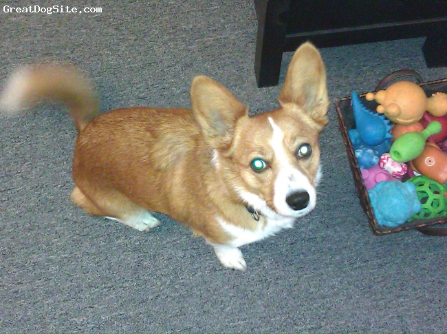 Corillon, 3, Ginger, Jody's mom was Corgi, and her daddy was a Papillon.  It has been said that she looks like a fox.