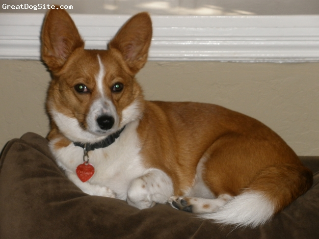 Corillon, 4, red and white, Sweetest most playful dog ever!