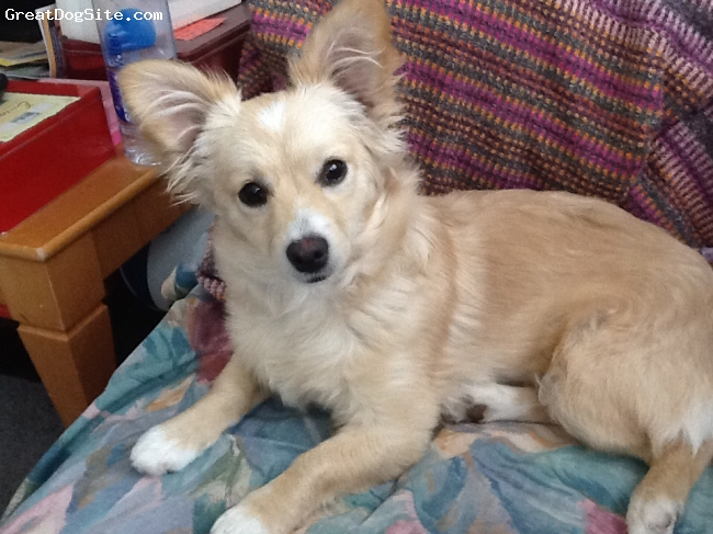 Corillon, 7months old, Golden, She has a Papillon face and a Corgi body. She has a curled tail. She has sturdy Corgi legs. She is so foxy puppy!