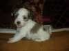 Coton De Tulear, 1 month, tri-colored