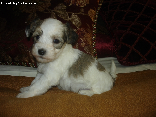 Coton De Tulear, 1 month, tri-colored, he is sOooooo cute