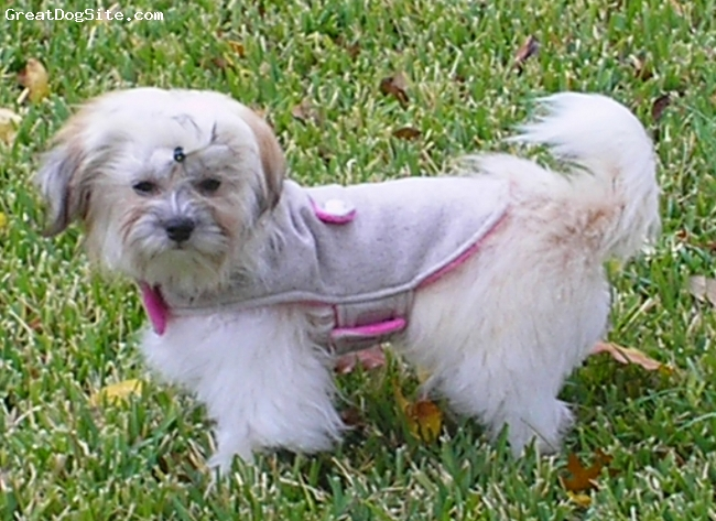 Coton Tzu, 10 months, creams, apricots, blacks, Our Coton-Tzu, 8 mos., 7.5 lbs., before a walk ...