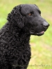 Curly Coated Retriever, 2, Black