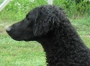 Curly Coated Retriever, 4, black