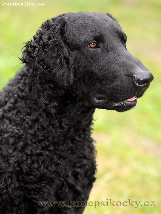 Curly Coated Retriever, 2, Black,