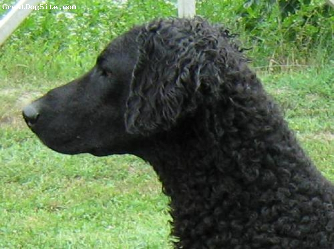 Curly Coated Retriever, 4, black, She is wanderful temperament, she love children and puppies very much! She is great on dog-shows (junior CH, Ch, Club winner) and now we expected her first litter :-)