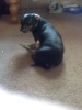 Dachshund, 3 years old, black