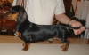 Dachshund, 2 years old, black&tan