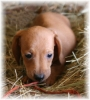 Dachshund, 9 weeks, Red