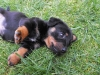 Dachshund, seven weeks, Black and tan