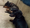 Dachshund, 1 and 4 years old, Dapple and Black