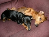 Dachshund, 5 and 1, Brown and Black/Brown