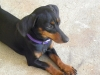 Dachshund, i year old, black